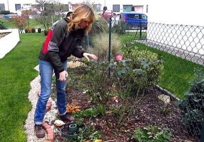 Нужно ли обрезать розы на зиму и когда лучше это сделать