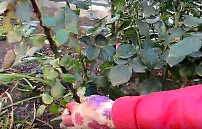Удаление лишних ветвей роз при обрезке