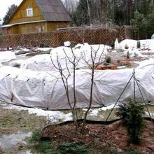 Когда и как укрывать розы на зиму – только проверенные способы