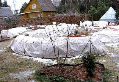 Когда и как укрывать розы на зиму