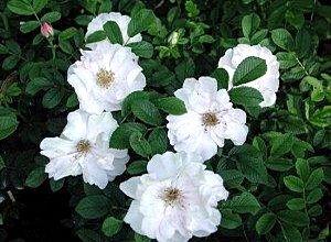 Сорт розы Генри Хадсон