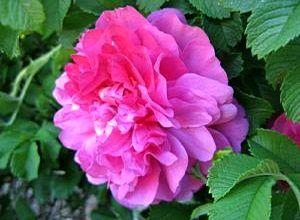 Сорт розы Девид Томпсон