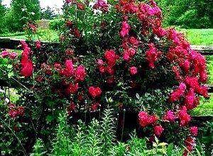 Роза сорта Генри Килси