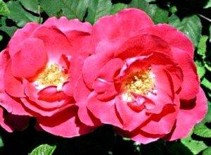 Роза сорта Мартин Фробишер