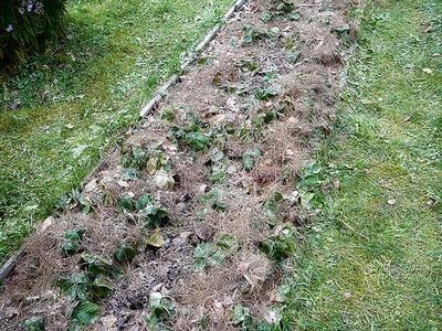 Укрытие клубники на зиму сосновой хвоей