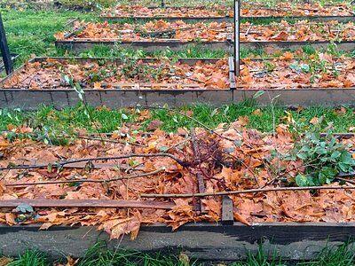 Укрытие клубники опавшими листьями
