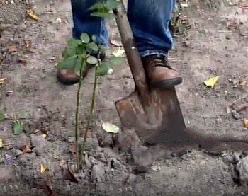 Вскапывание земли вокруг кустов роз осенью