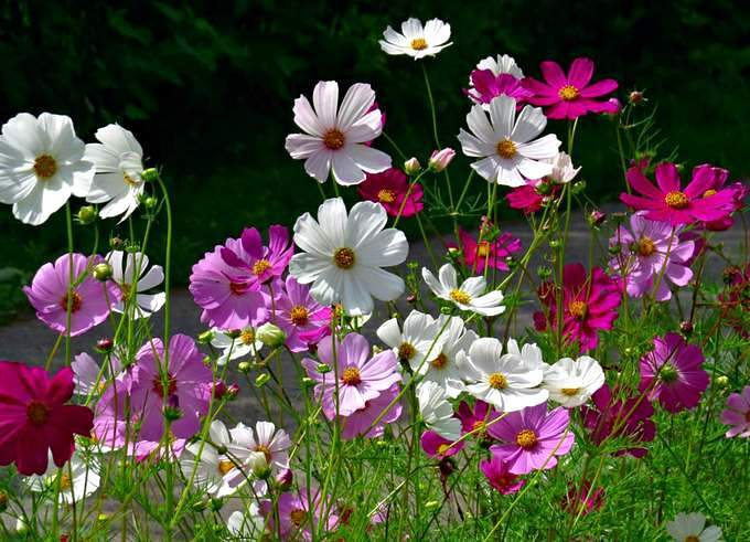 Космея - неприхотливый цветок для дачи