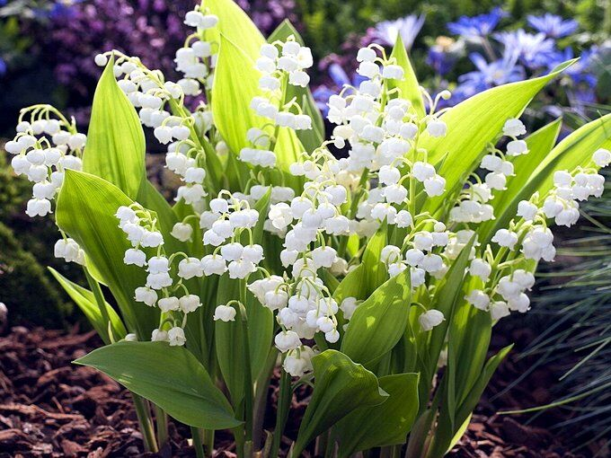 Ландыши - самые неприхотливые цветы для дачи