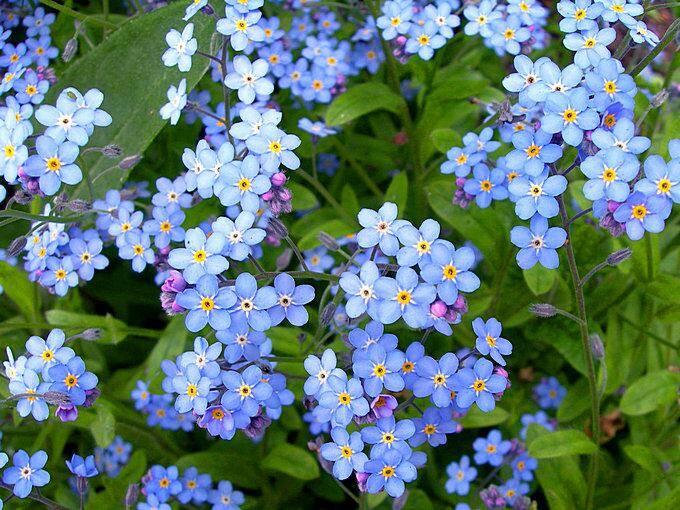 Незабудка - самый неприхотливый цветок для дачи
