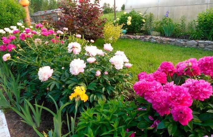 Пионы - самые неприхотливые цветы для дачи