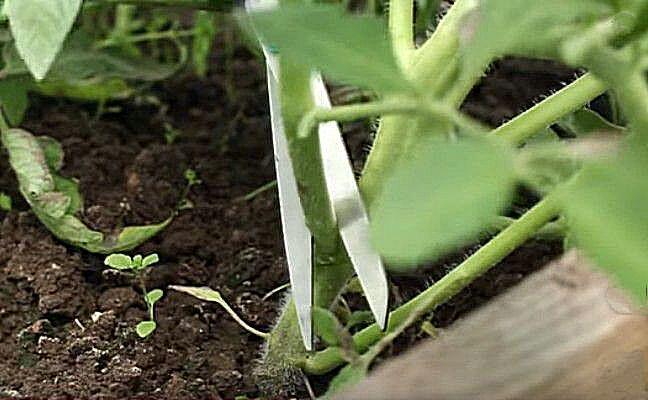Обрезка прикорневых пасынков на томатах