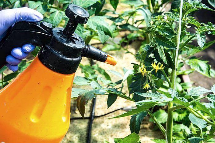 Обработка томатов раствором с помощью распылителя